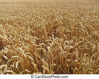 Endless Wheat Field - A wheat field that seems almost...