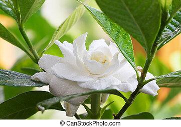 mojado, Gardenia