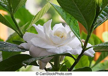 Gardenia, mojado