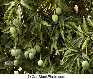 Mangoes for the picking, Philippines