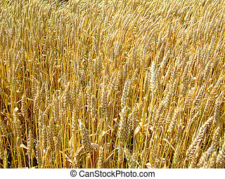 Wheat field - Gold wheat field on the sun