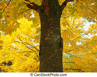 Maple tree in fall with lots of yellow colors