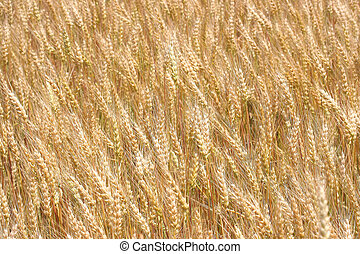 Summer Wheat - undulating golden wheat in a humid summer...