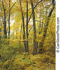 Yellow Woods - Fall colors, Breakheart Reservation,...