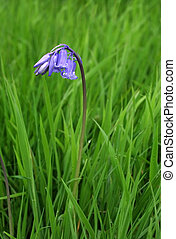One Bluebell - One bluebell in the grass in spring