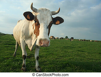 cow - A cow in a pasture looking curiously at the...