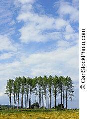 Poplars in the Buttercup Meadow