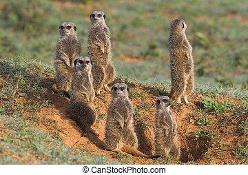 Meerkat, famille