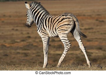Zebra Foal on the African grass plains