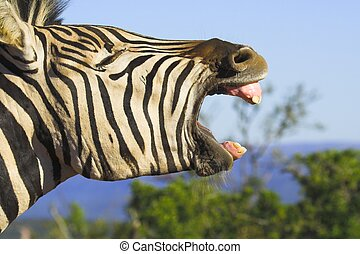 Zebra Yawn - Zebra yawning with its mouth wide open Good...
