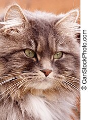 Long-haired Tabby - Portrait of a long-haired male tabby cat...