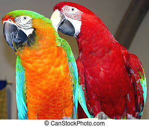 Two Macaws - A Blue & Gold and Scarlett macaw making...