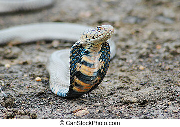 Cobra - Threatening Mozambiqan Spitting Cobra. Shallow...