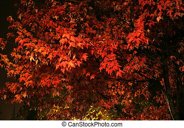 Autumn Fire - A firery red sugar Maple in full autumn bloom...