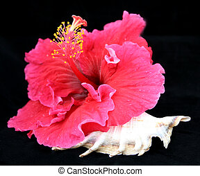 Flower and Shell - A bright pink hibiscus flower with a...