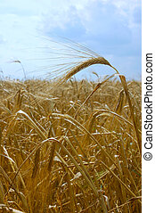 Wheat field - Close-up ears on summer wheat field harvest...