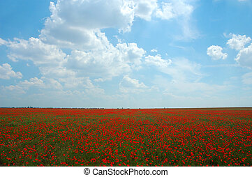 Natural summer beauty - Red poppy flowers colorful summer...