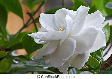 Gardenia, florecimiento