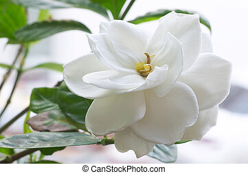 florecimiento, Gardenia