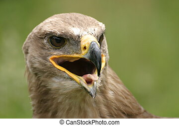 Steppe eagle - Beautiful bird of prey
