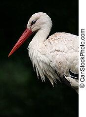 White stork - European white stork