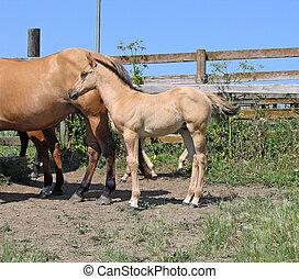 Quarter horse foal