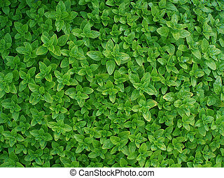 oregano - carpet of oregano leaves