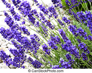 Lavender in garden, close