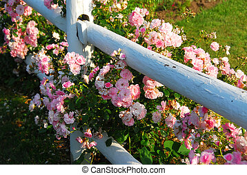 Pink roses fence - Pink roses at the white painted country...