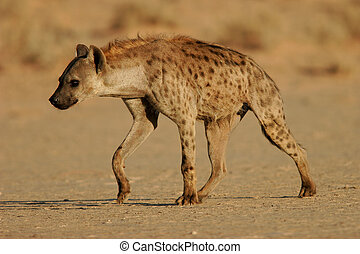 Spotted hyena walking, Kalahari, South Africa