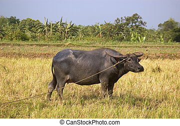 Carabao - Water buffalo in ricefield under the hot, summer...