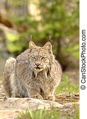 Canadian Lynx (Lynx canadensis) crouching. - A crouching...