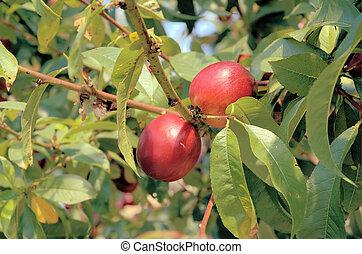 Nectarines - Nectarine branches