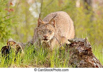Lynx canadensis stalking - A Canadian Lynx Lynx canadensis...