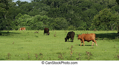 A Group Of Bull
