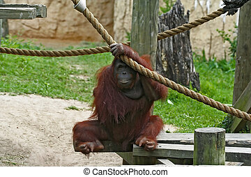 Female Orangutan - female orangutan hang her hand on the...
