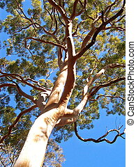 Tall Gum Tree in Lane Cove National Park