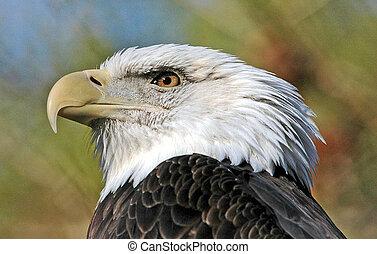 americano, águia