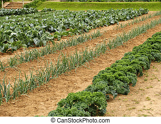 Vegetable garden - Vegetable rows growing in garden