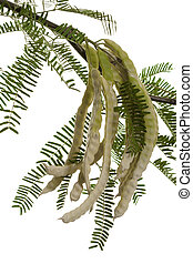 Mesquite Pods - Half Dry Mesquite Pods or Prosopis Fabaceae...