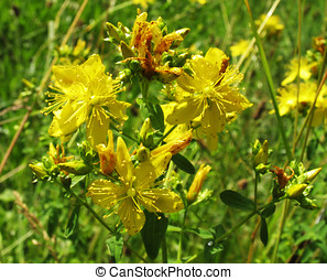 Hypericum blooms on the meadow