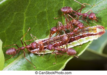 Ants Team Work - Ants moving a dead worm