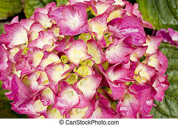Stock Photo of Pink Hydrangea Flower - Photo of a beautiful,...