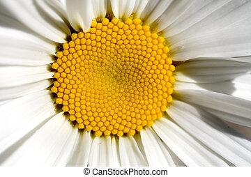 Stock Photo of One Shasta Daisy - Photo of a Shasta Daisy