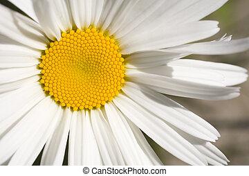 Stock Photo of a Shasta Daisy - Photo of a Shasta Daisy shot...