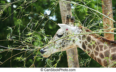Giraffe Having Snack - giraffe having snack in the middle of...