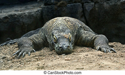 Komodo Dragon - komodo dragon laying on the ground