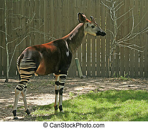 Okapi - okapi in backyard with fence in the background