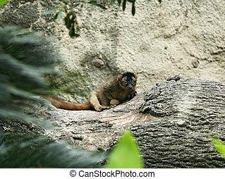 Ring-tailed Lemur - brown ring-tailed lemur