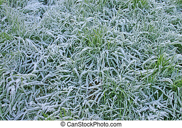 Icy Grass - Long Frosty Grass on a November Morning in...